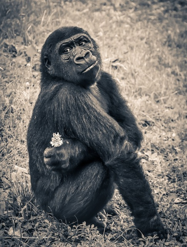 19314260-maxpixelfreegreatpicturecom-Endangered-Species-Gorilla-Ape-Puppy-Young-Monkey-914585-151714